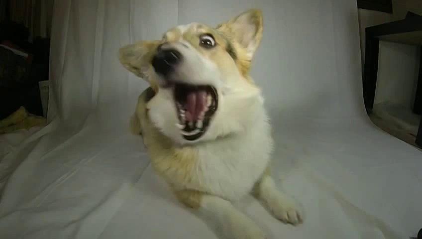 Slow-Motion Video Of A Corgi Catching Dog Treats Is Captivating, Hilarious