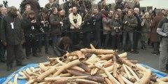 La France détruit trois tonnes d'ivoire illégal