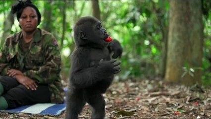 Operation Congo gorillas