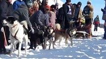 Des chiens de traîneaux juste avant la course... complètement fou!