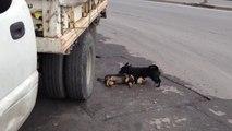 Un chien tente de faire revivre son ami mort