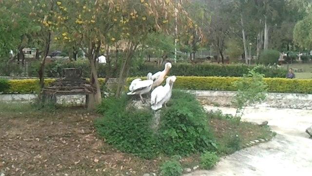 Pelican Facts - Pelicans in Zoo
