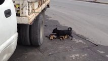 Perrito intenta revivir a su amigo fallecido
