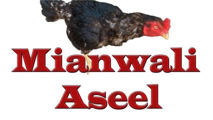 OLX ASEEL HEN FOR SALE IN LAHORE - Mianwali Aseel
