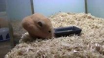 Hamster stopft sich einen kompletten Mini-Maiskolben in die Backen