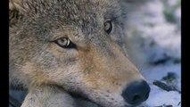 ONGs conservacionistas se oponen a la matanza de lobos en Asturias