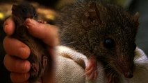 These Tiny Marsupials Actually Screw Each Other to Death