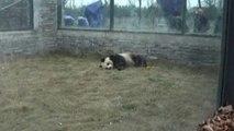 Adorable giant pandas swap China for Belgium