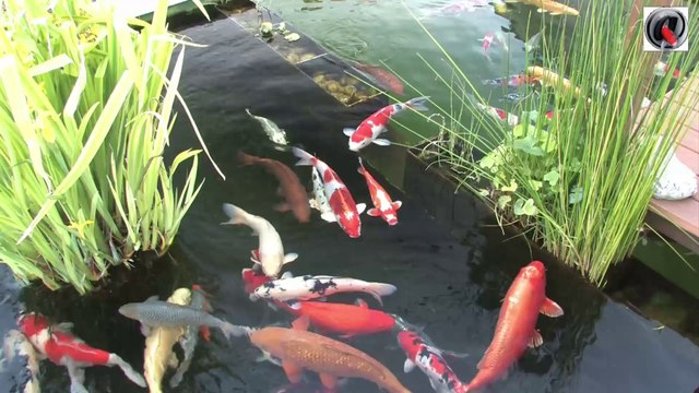 Le bassin a koi de Zoom - the koi pond of Zoom