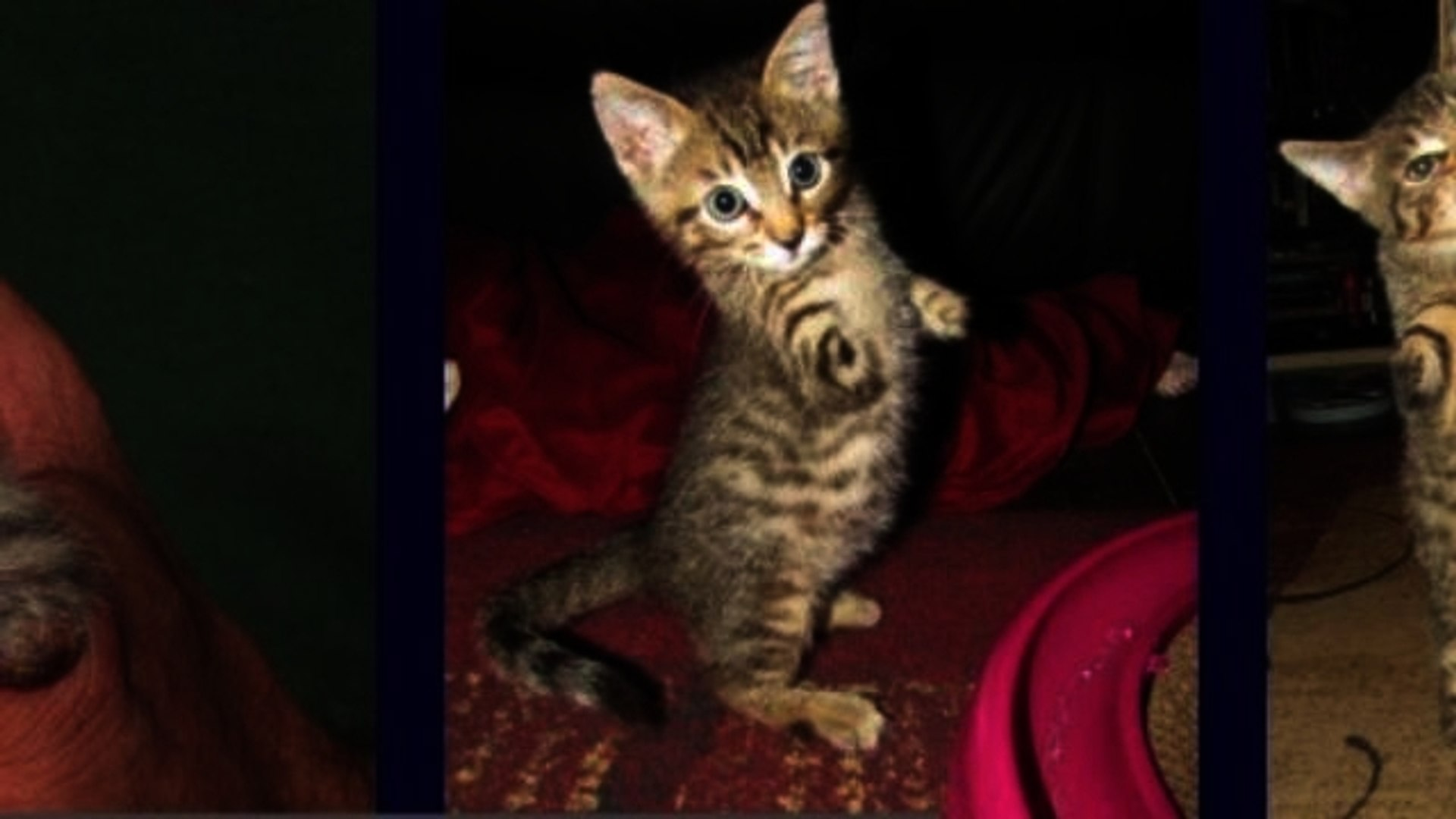 Kitten Loses Front Legs to Gardening Tool, Becomes Internet Superstar