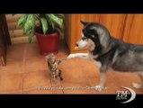 Come cane e gatto, ovvero grandi amici. Giochi ed effusioni fra un Husky ed un micio