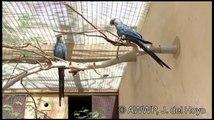 Parrot brids video