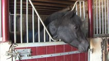 Cavalcades : Le poney francais de selle