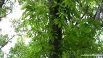 American Chestnut Trees Genetically Modified to Resist Fungus