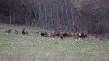 Troupeau de mouflons dans le Vercors en hiver