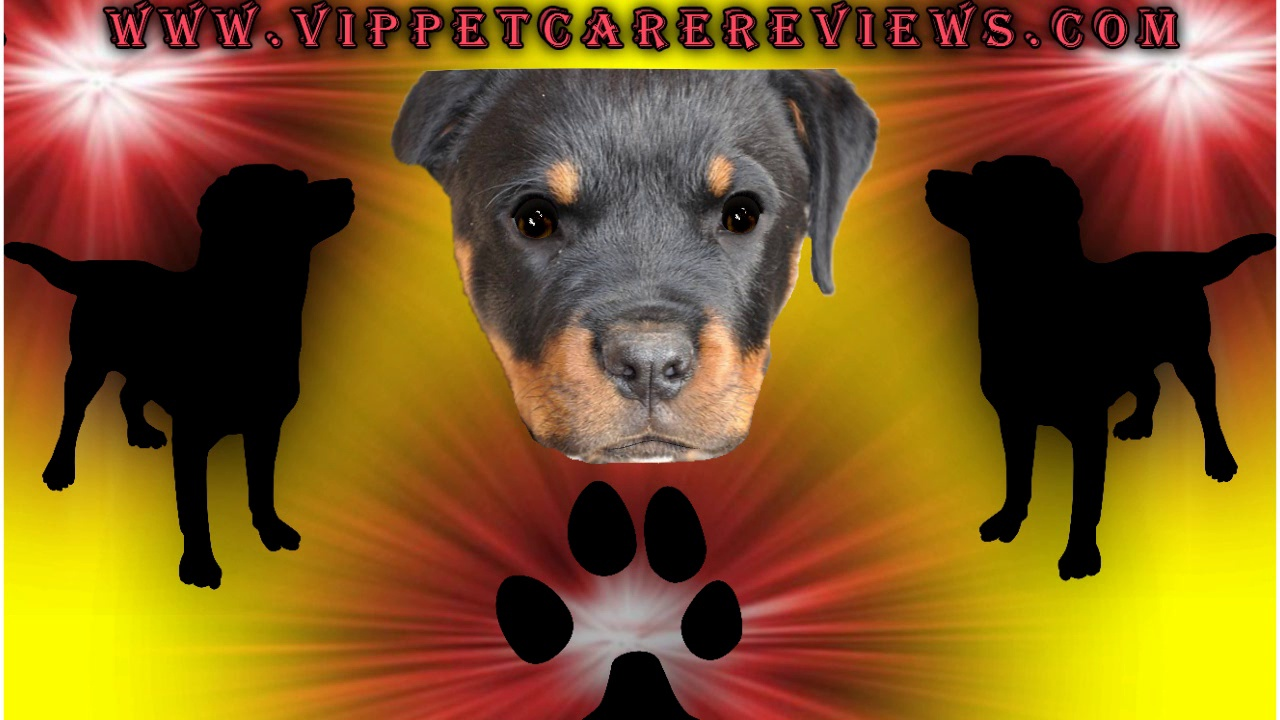 Pet Care The Rottweiler Dog Breed