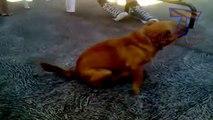 Des chiens marrants et débiles - Compilation hilarante d'animaux!