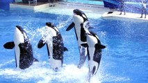 No More Dancing Killer Whales? Bill Threatens To Ban SeaWorld Orca Shows