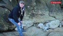 Quiberon. Un phoque blessé repousse ses sauveteurs