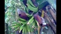 DON ATELLO - Banane2VAL2MORTHARDECORE