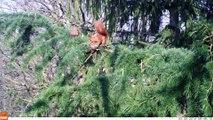 Le garde-manger de l'écureuil roux (2)