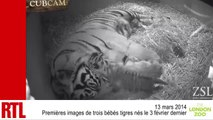 VIDÉO - Les premières images de trois bébés tigres nés au zoo de Londres