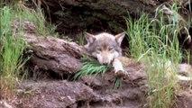 Enorme fraude por daños del lobo: Entrevista portavoz ecologistas