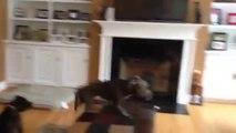 Chien volant! Il saute de canapé en canapé comme un oiseau!