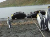 Hilarious penguin playing with a rope! So so cute.