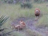 Des bébés lions essaient de Rugir comme leur papa! RRRrrrrrrrr