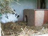 préparation d'un nid par un lapin  papillon nain bleu et blanc.