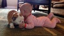 Un jeune bulldog fait des bisous à un bébé! Adorable...