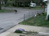 Un livreur laisse partir son camion devant 3 chiens fous!