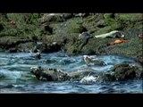 Galapagos Marine Iguana: Galapagos Iguanas, In The Marine Iguana Habitat