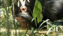 الجزيرة الوثائقية | الحياة البرية - الحياة في غابة كالينزو - قردة الشامبانزي في أوغاندا