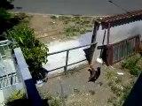 Un chien saute par dessus la barrière pour rejoindre sa femelle...