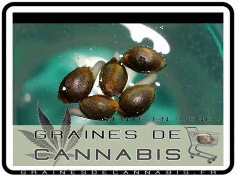 Faire germer les graines de cannabis