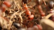 Atom Karıncalar