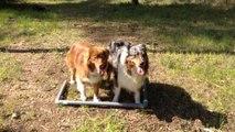 Dressage canin la ciotat,commandement à distance sur deux chiens