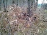 rapproché des beagles harriers de la chaume à tous vents