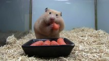 Hamster gobe 5 carottes dans sa bouche