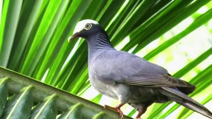 White Crowned Pigeons
