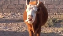 The WTF Cow - Funny Cow Goes Crazy