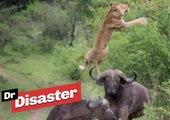 La spectaculaire attaque d'une lionne par des buffles / Dr Disaster