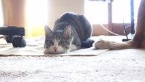 Un chat remue ses fesses pour bondir