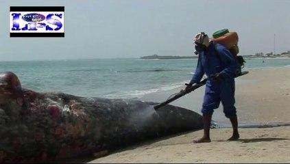 Une Baleine noir de 15m sur la plage de Warang.
