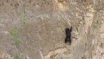 Des ours escaladeurs