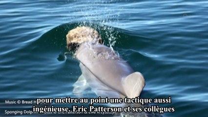 Quand les dauphins se servent d'éponges pour chasser