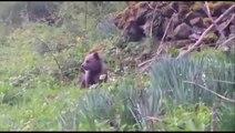 Un bébé ours tout seul dans les Pyrénées