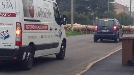 La mandria di pecore XD